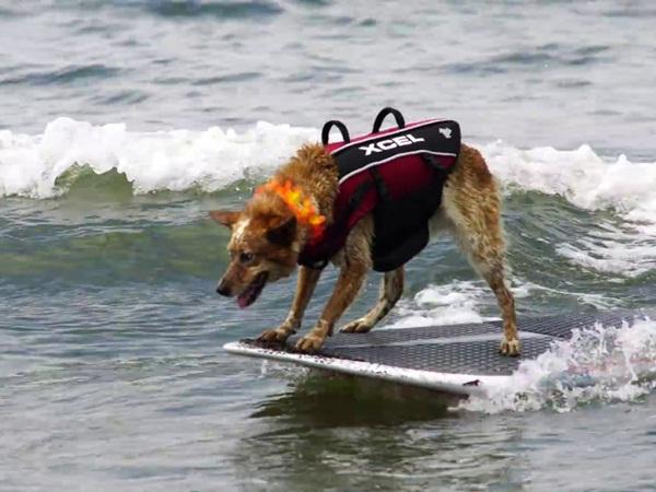 بالفيديو: كلبة تظهر مهارتها في ركوب الأمواج!