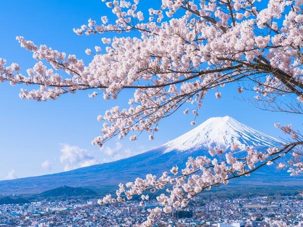 بالفيديو: اليابان تتزين بزهور ساكورا مع حلول الربيع